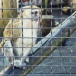 Monkey thinking in a cage — Foto de Stock