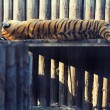 Tiger resting on a wood shelf — Stock Photo