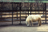White pony walking — Stock Photo