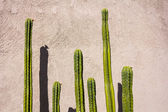 Cactuses of different heights — Стоковое фото