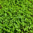 Green Clover Background — Stock Photo #37075595