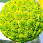 Постер, плакат: Green Flower Balls