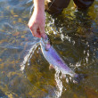 Постер, плакат: Rainbow Trout Catch Release