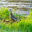 Stock Photo: Mother Duck and Chicks