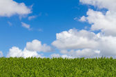 Plant Hedge Sky and Clouds — Stock Photo