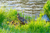 Mother Duck and Chicks — Stock Photo