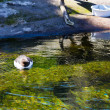 Stock Photo: Waterfowl at Zoo in Water