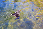 Waterfowl at Zoo in Water — Stock Photo