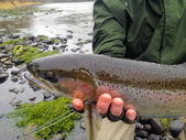Fly Fisherman with Steelhead — Stock Photo