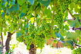 Vineyard of Grapes for Wine — Stock Photo