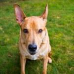 Pitbull Lab Mixed Breed Dog — Stock Photo #38588983