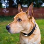 Pitbull Lab Mixed Breed Dog — Stock Photo #38589003