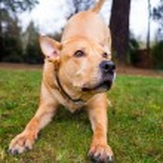 Pitbull Lab Mixed Breed Dog — Stock Photo #38589013
