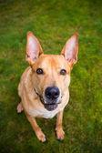 Pitbull Lab Mixed Breed Dog — Stock Photo