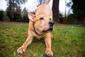 Pitbull lab blandras hund — Stockfoto