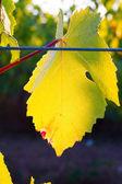 Grape Leaf Detail — Stock Photo