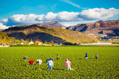 Strawberry Field Agriculture Workers — Stockfoto