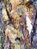 Ponderosa Pine Sap and Bark — Stock Photo