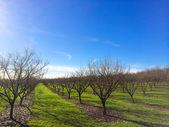 Newly Planted Filbert Orchard — Stock Photo