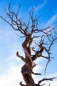 Twisted Juniper Tree in Winter — Stock Photo