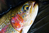 Native Deschutes Redside Rainbow Trout — Stock Photo