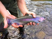 Catch and Release Native Rainbow Redside Trout — Stock Photo