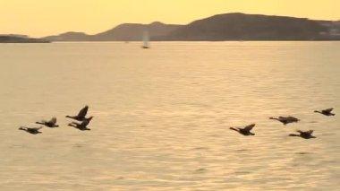 Wild Geese — Wideo stockowe