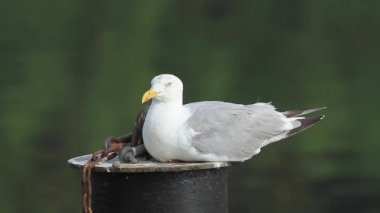 Herring Gull — Vídeo de Stock