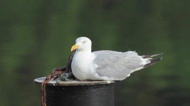 Herring Gull — Stock Video