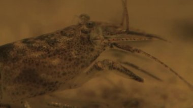 Common Shrimp — Stock Video