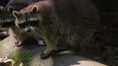 Playing Raccoon — Stockvideo