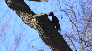 Black Woodpecker — Stock Video