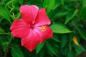 Chinese Rose. — Stock Photo