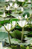 Lírios brancos — Foto Stock