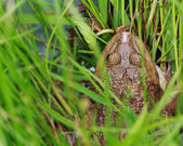 Close-up of a Cane toad (Bufo marinus) sitting in the grass. — Stock Photo