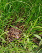 Close-up of a Cane toad (Bufo marinus) sitting in the grass. — Stok fotoğraf