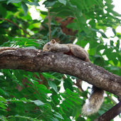 A friendly squirrel lying on a tree branch. — Stock Photo