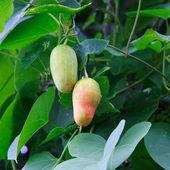 Плоды тыквы змея — Стоковое фото