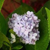Hortensia group, Hydrangea (Hydrangea macrophylla (Thunb.) Ser.) — Stock Photo