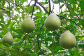 Fresh Pomelo is on the tree — Stock Photo