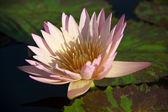 Lotus flower background — Stock Photo