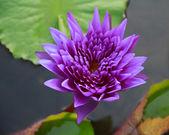 красивые лотоса цветочный фон — Стоковое фото