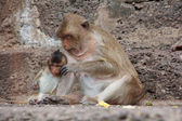 Cute macaque sitting on a brown background. — Stockfoto