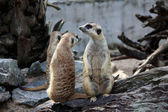 Wild meerkats (aka suricates), Karoo, South Africa — 图库照片