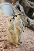 Meerkat in with blur background. Open safari in Thailand — Stock Photo
