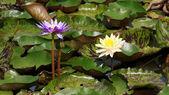 Lotus. — Stock Photo