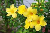 Allamanda or golden trumpet , beautiful yellow flower. Golden Trumpet Vine — Стоковое фото