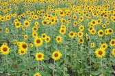 Pole kwitnących słoneczników — Zdjęcie stockowe