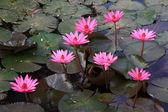 Pink Lotus flower beautiful lotus. — Stock Photo