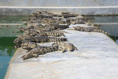 Crocodile in pond aquaculture — Stock Photo